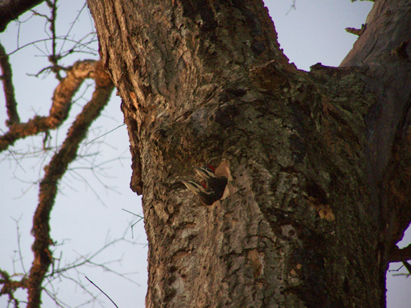 Woodpecker Babies in Clay County Alabama