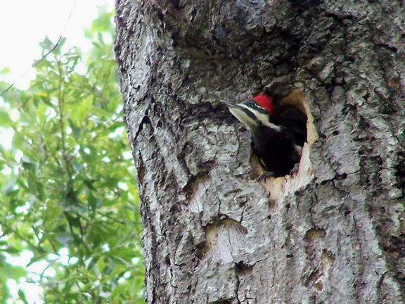 baby woodpeckers in clay county alabama